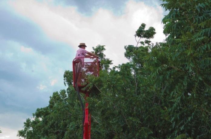 Tending pecan nut trees.